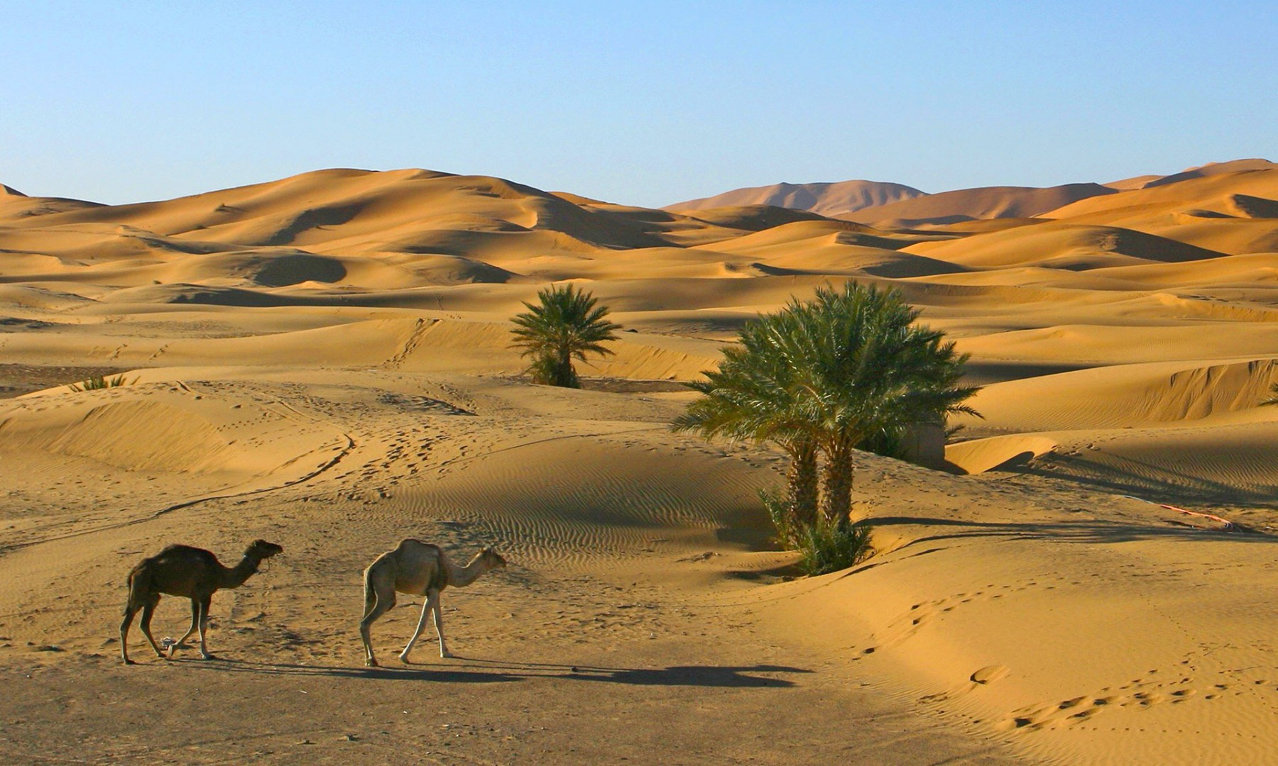 maroc_chameaux_dans_les_dunes_de_merzouga
