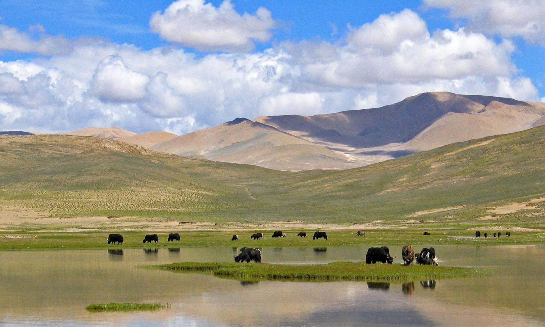 tibet_troupeau_de_yaks_sur_le_haut_plateau