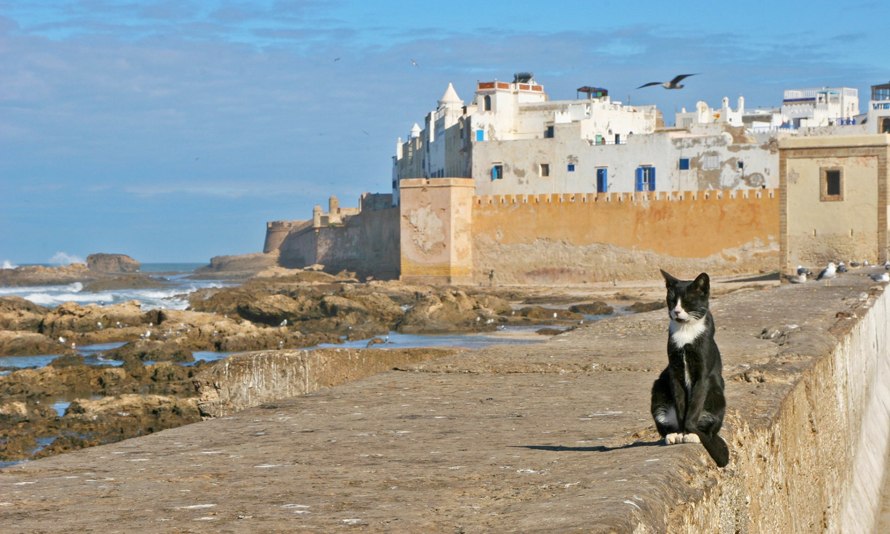 le_chat_d_essaouira_maroc_cote_atlantique
