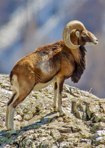 mouflon_male_2