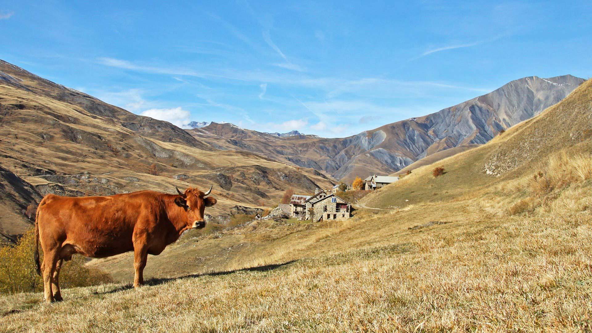 vache_en_oisans_dans_les_hautes_alpes-1920x1080
