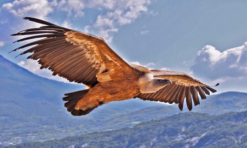vautour_fauve_1