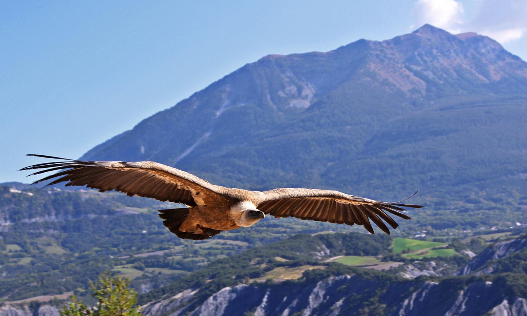 vautour_fauve_2